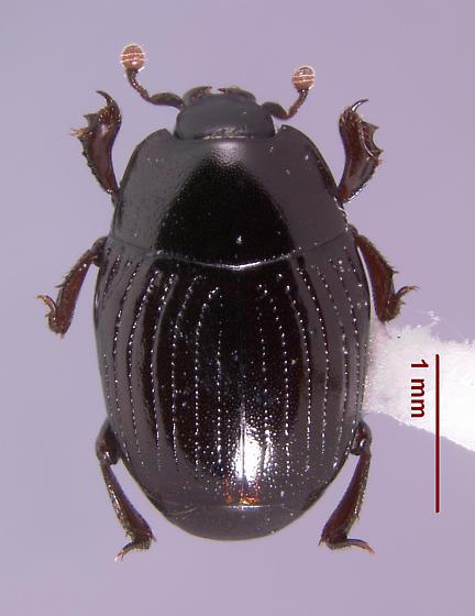 Carcinops (s.str.) pumilio (Erichson 1834) - Carcinops pumilio