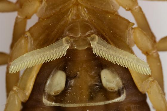 Arizona Bark Scorpion? - BugGuide Net