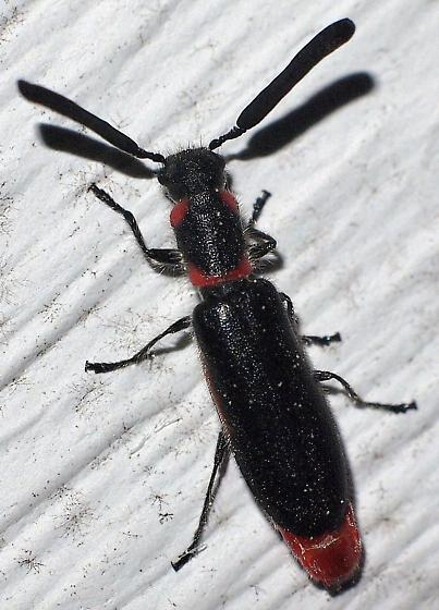 Unknown Beetle - Monophylla terminata - male
