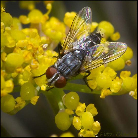 Genus, Sarcophaga, Species ID please?