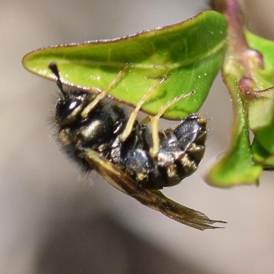 Bee? - Abia americana