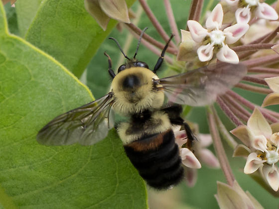 Brown-belted bumble bee? - Bombus griseocollis