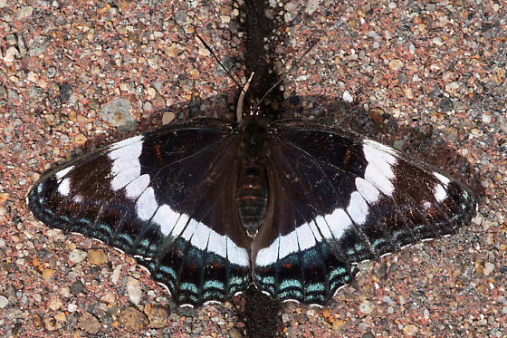 White Admiral (a.k.a. Banded Red-spotted Purple) - Limenitis arthemis