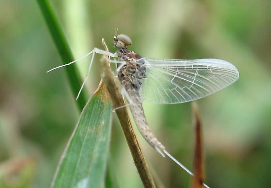 Mayfly - Callibaetis fluctuans