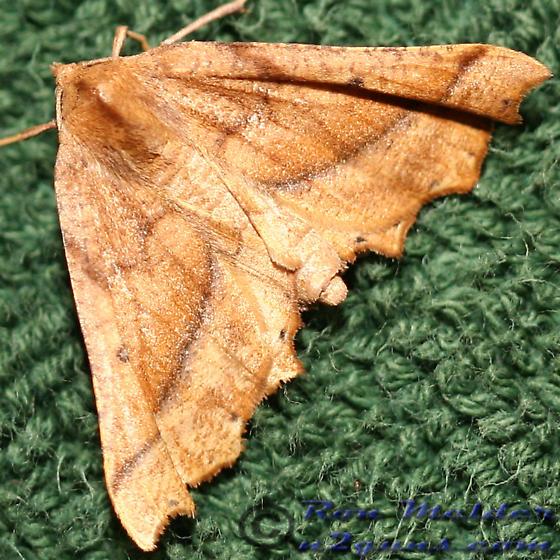 Moth - Pero zalissaria