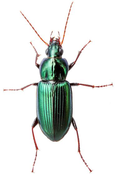 Carabidae - Poecilus scitulus