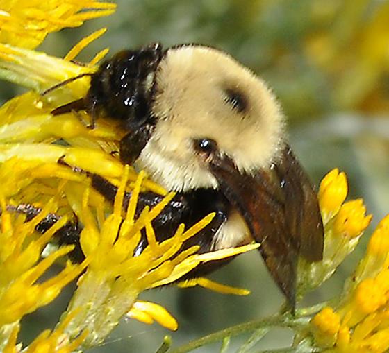 Bombus sp on Rabbitbrush - Bombus griseocollis - male