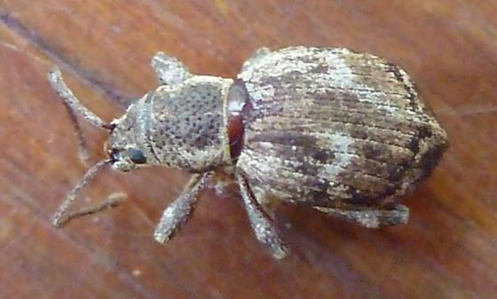 Obscure Root Weevil - Sciopithes obscurus