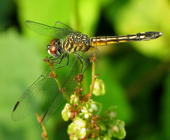 Blue Dasher - Pachydiplax longipennis - female