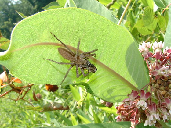 Unidentified Spider eating Little Glassywing - Pisaurina mira