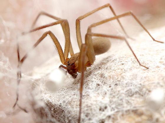 Arizona Brown Recluse Spider - Loxosceles arizonica - male