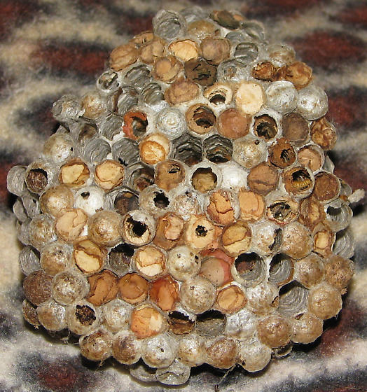 LEAF-CUTTING BEES USE OLD PAPER WASP NEST - CLOSEUP - Megachile