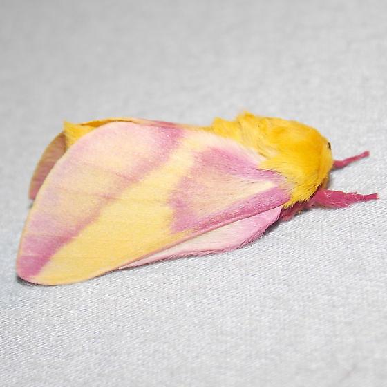 7715 Rosy Maple Moth - Dryocampa rubicunda