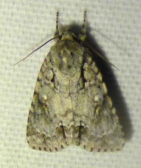 Acronicta hastaSpeared Dagger Moth - Acronicta hasta