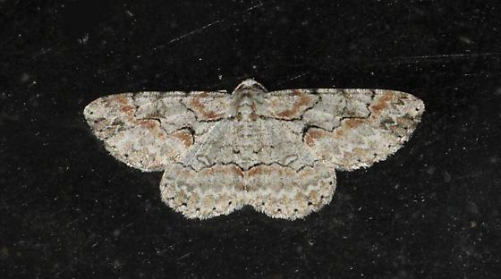 White and Orange Moth - Iridopsis defectaria