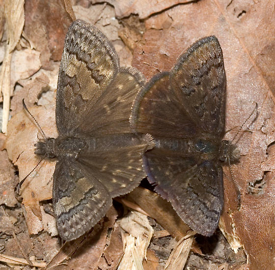 Mating Sleepy Duskywings - Erynnis brizo - male - female