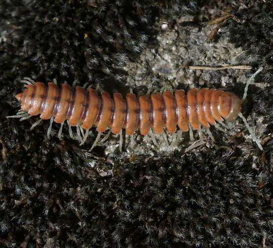 Motyxia