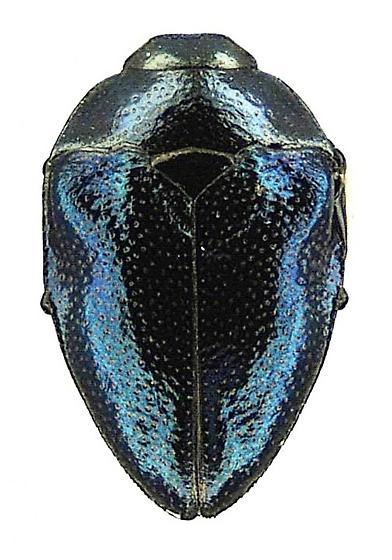 Pachyschelus vogti Hespenheide - Pachyschelus vogti - female