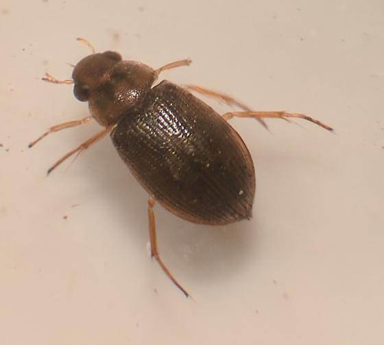 Some type of Berosus? - Berosus aculeatus