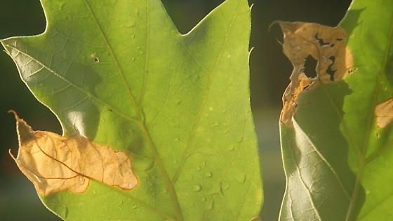 Leigh Farm Park leaf miner on Quercus falcata D505 2017 2 - Dyseriocrania griseocapitella