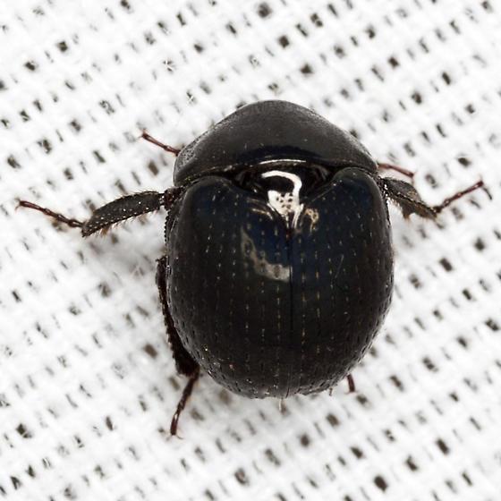 Pill Scarab Beetle - Germarostes globosus