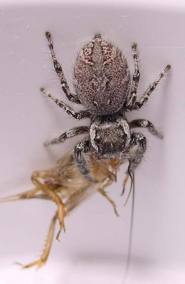 Hungrey Lady - Phidippus asotus - female