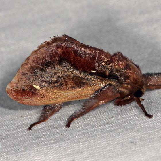 Unknown Slug Moth - Acharia stimulea