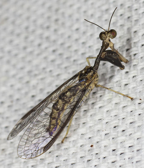 Mantidfly - Dicromantispa sayi - male
