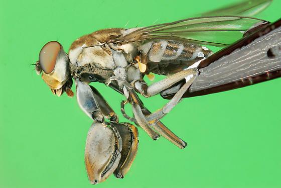 crab footed fly - Ochthera - female