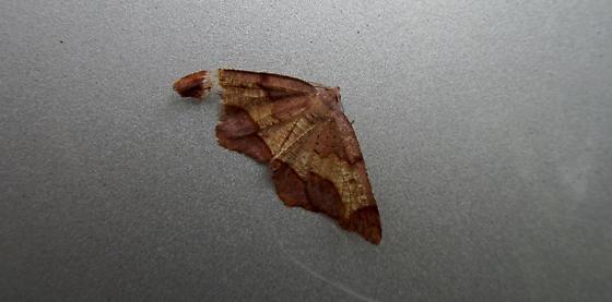 Pretty Moth.... ID? - Probole amicaria