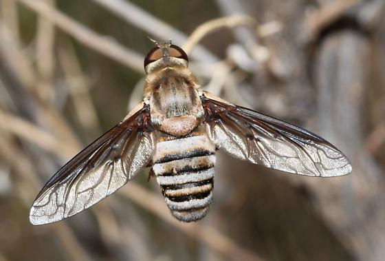 Exoprosopa Bee fly - Exoprosopa