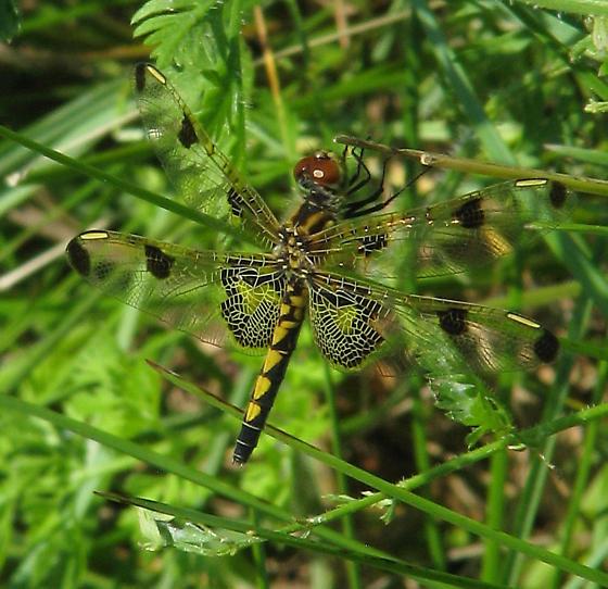 Dragonfly - Celithemis elisa - female