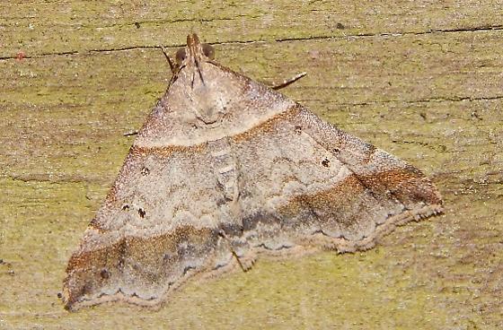 Phalaenophana pyramusalis? - Phalaenophana pyramusalis