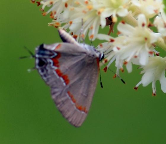 possible hairstreak - Calycopis cecrops
