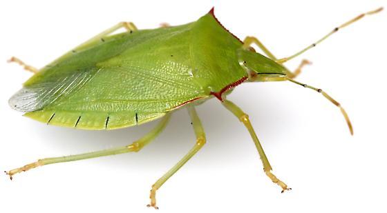Loxa flavicollis? - Chlorocoris distinctus