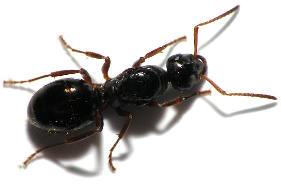 Black queen ants