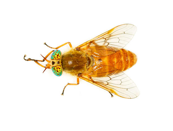 yellow biting fly with green eyes - Silvius gigantulus