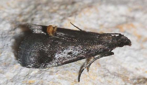 Alpheidoides parvulalis - Alpheias oculiferalis