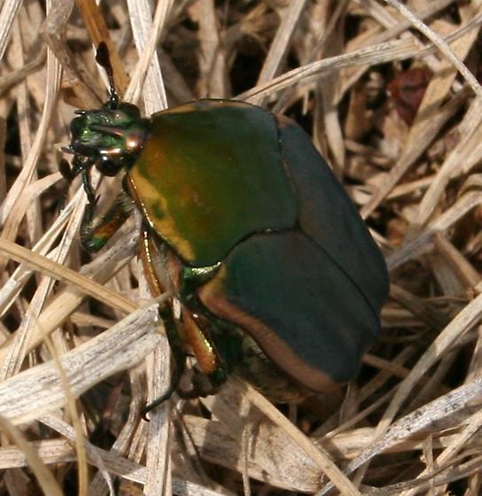 Big Beetle [Cotinis nitida?] ID Request - Cotinis nitida