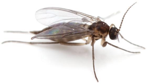 Sciaridae? - female