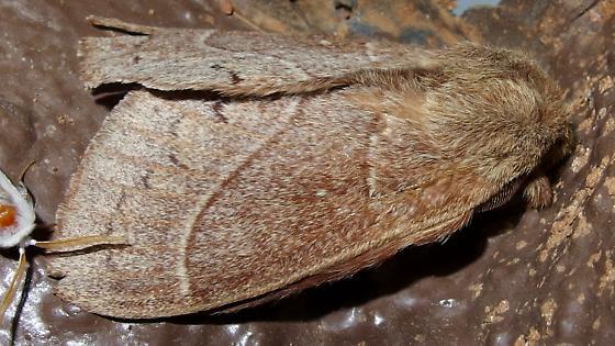 Dicogaster coronada - male
