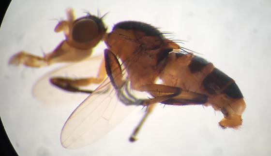 Small fly on flowers, tachinid? - Saltella sphondylii
