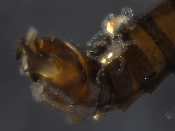 Lateral terminalia - Paraleuctra vershina - male