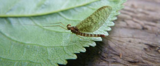 mayfly - Cinygmula - male