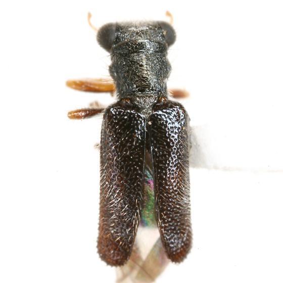 Phyllobaenus fallax (Wolcott) - Phyllobaenus fallax