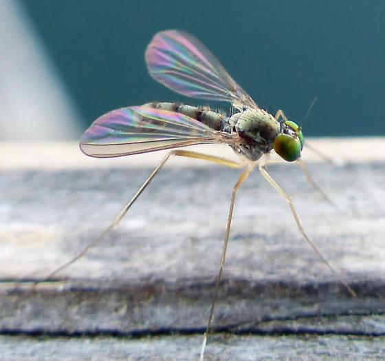 What bug please? - Sciapus platypterus - male