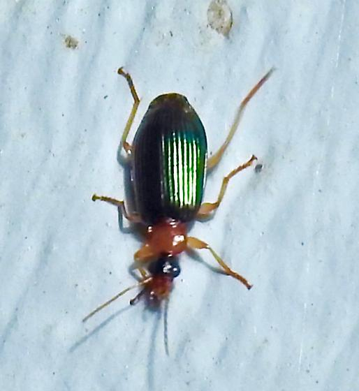 Lebia viridipennis? - Lebia viridipennis