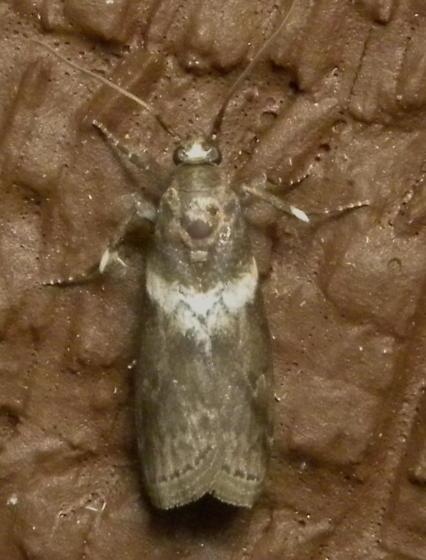 Salebriaria species? - Salebriaria fasciata