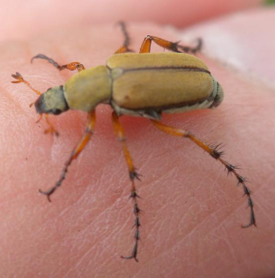 unknown bug or beetle - Macrodactylus subspinosus