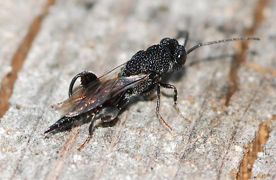 wasp - Trigonura